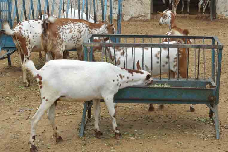 Stall fed goat farm project report, Barbari goat business plan 100+5