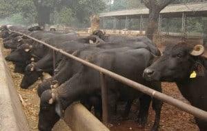 buffalo dairy farm project report 10 buffaloes, buffalo loan,DEDS,