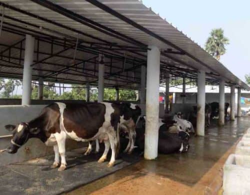 dairy farm project report ten cows,dairy farm business plan