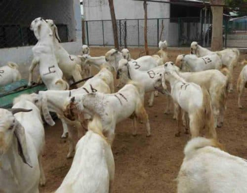 Goat farming project