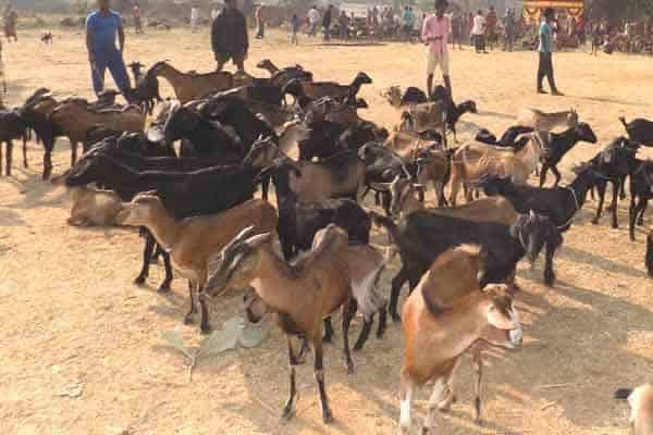 goat farming project report, 100+5  goat farm business plan 100 plus 5